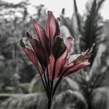 Beautiful tropical flower in Bali royalty free stock images