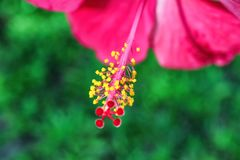 Beautiful tropical flower outdoors, Royalty Free Stock Photos