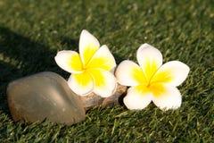Beautiful Tropical flowers frangipani Stock Photos