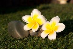 Beautiful Tropical flowers frangipani Royalty Free Stock Images