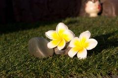 Beautiful Tropical flowers frangipani Stock Photo