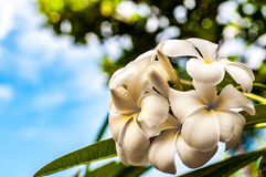 Beautiful tropical flowers in the Philippines stock photos