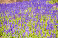 Beautiful tropical in garden. Purple flowers of Hyssopus officinalis (Hyssop royalty free stock photo