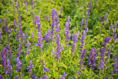 Beautiful tropical in garden. Purple flowers of Hyssopus officinalis (Hyssop royalty free stock photography