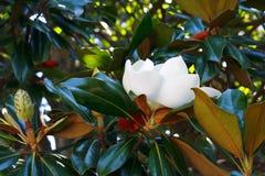 Beautiful tropical magnolia flower among foliage Stock Images
