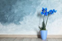 Beautiful tropical orchid flower in pot on floor near color wall stock photography