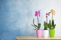 Beautiful tropical orchid flowers in pots on table near color wall. stock images