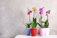 Beautiful tropical orchid flowers in pots on table near color wall. Space for text royalty free stock images