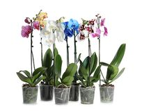 Beautiful tropical orchid flowers in pots royalty free stock photos
