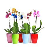Beautiful tropical orchid flowers in pots stock photos