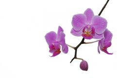 Beautiful tropical orchids. Royalty Free Stock Images