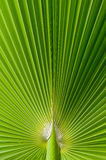Beautiful tropical palm leaf. For background Royalty Free Stock Photography
