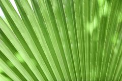 Beautiful tropical palm leaf. Closeup royalty free stock images