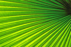 Beautiful tropical palm leaf Royalty Free Stock Images