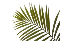 Beautiful tropical palm leaf. On white background stock photos