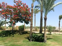 Beautiful tropical palm trees and delonix trees with red flowers in the open air on vacation, tropical, southern, warm resort unde. R the sun Stock Photography