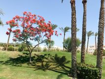 Beautiful tropical palm trees and delonix trees with red flowers in the open air on vacation, tropical, southern, warm resort unde. R the sun Royalty Free Stock Image