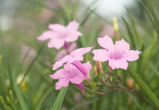Beautiful tropical pink flowers in the garden Royalty Free Stock Image