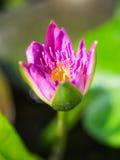 Beautiful tropical pink lotus Royalty Free Stock Photos