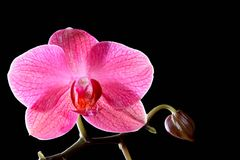 Beautiful tropical pink orchid flower Stock Photo