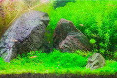 Beautiful tropical planted freshwater aquarium with fish royalty free stock image