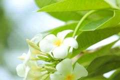 Beautiful tropical plumeria flowers. Outdoors Stock Photography