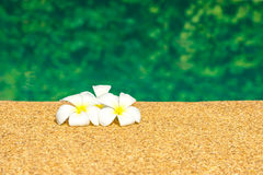 Beautiful tropical Plumeria flowers on swimming pool with green Stock Photography