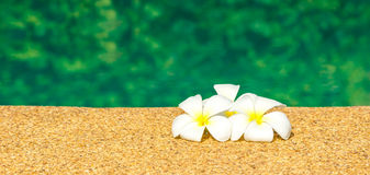 Beautiful tropical Plumeria flowers on swimming pool with green Royalty Free Stock Photo