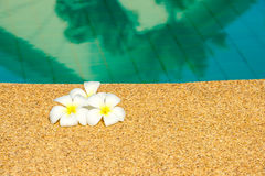 Beautiful tropical Plumeria flowers on swimming pool with reflec Stock Photo