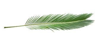 Beautiful tropical Sago palm leaf. On white background stock images
