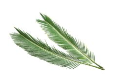 Beautiful tropical Sago palm leaves. On white background stock image