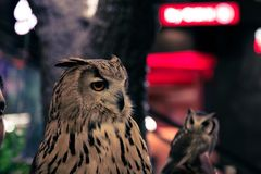 Beautiful owl in Thailand stock images