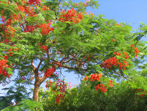 Beautiful tropical tree in blossom Royalty Free Stock Photography