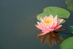 Beautiful tropical water lily. With it's reflection Royalty Free Stock Photo