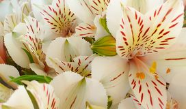 Beautiful tropical white flowers royalty free stock image