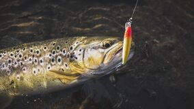 Free Beautiful Trout Hit The Hook Stock Images - 184216514