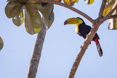 Tucan bird wild. Beautiful tucan bird in nature stock image