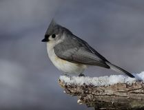 Beautiful tufted titmouse on snowny branch stock photography