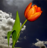 Beautiful Tulip. Against the stormy sky stock photography