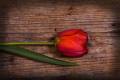 Beautiful tulip. Beautiful red tulip on the old wood Stock Photography