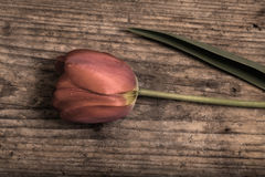 Beautiful tulip. Beautiful red tulip on the old wood Royalty Free Stock Images