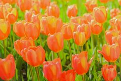 Beautiful tulip blooming in spring day stock images