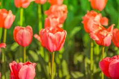 Beautiful tulip blooming in spring day stock photography