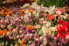 Beautiful tulip blooms Royalty Free Stock Images