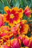 Beautiful tulip blooms Stock Photo
