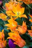 Beautiful tulip blooms Stock Photos
