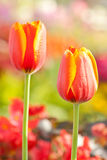 Beautiful tulip. Beautiful blossoming red and yellow tulip Royalty Free Stock Photos