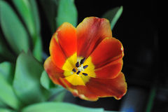 Beautiful tulip. On the blured background Royalty Free Stock Image