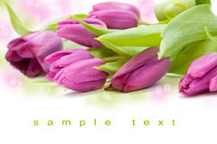Beautiful tulip bouqet. Tulip bouqet in a white backgroungd - spring feeling royalty free stock image