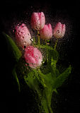 Beautiful tulip bouquet. With water drops royalty free stock photography